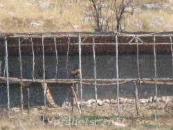 Наблюдение на белоглави лешояди. - Вършец